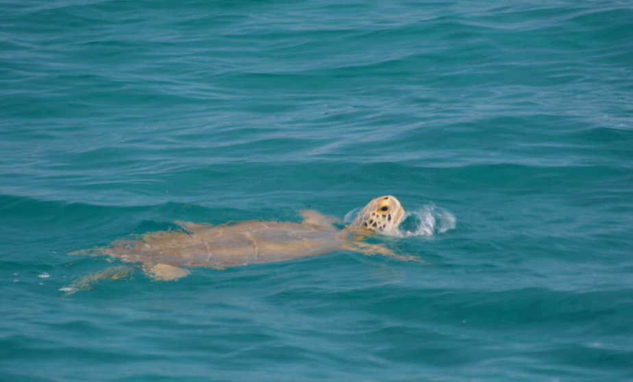 Turtle off Bimini