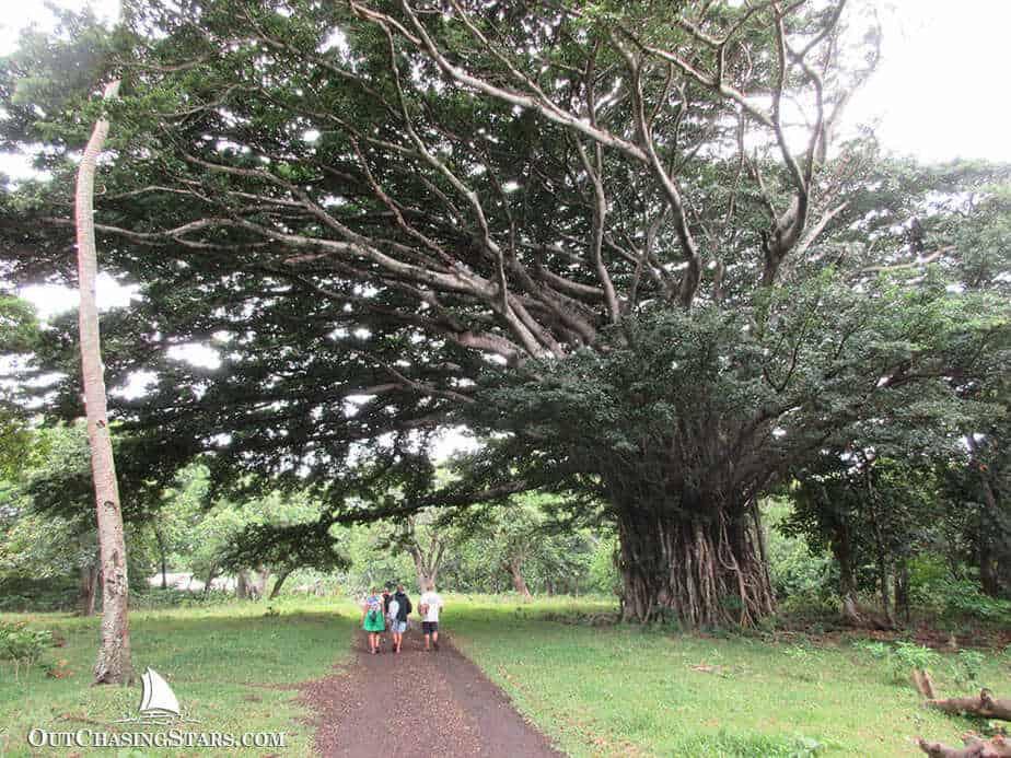 Banyan tree on Tanna Island.
