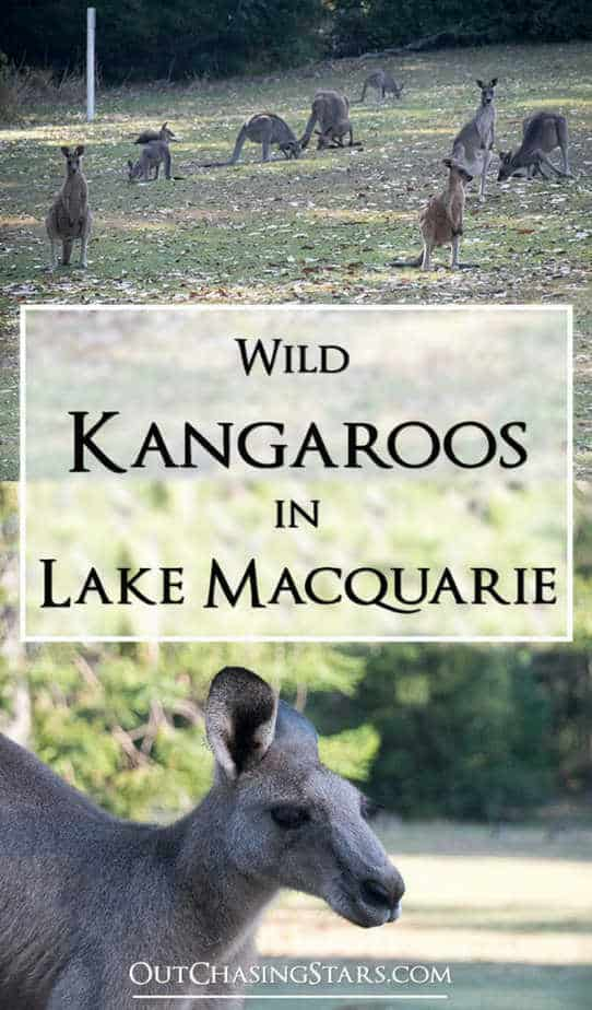 Finding wild kangaroos in Lake Macquarie.