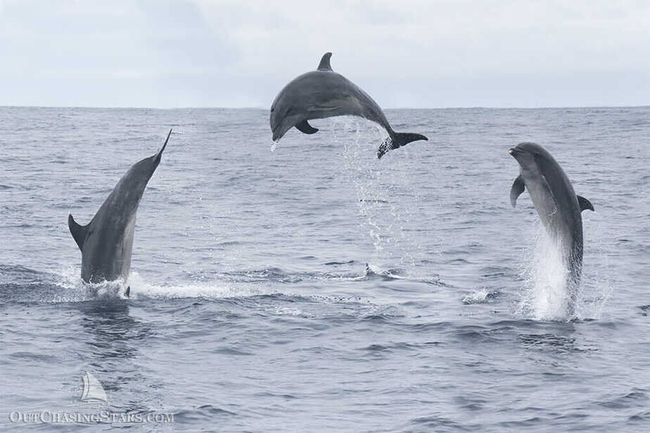 Bottlenose dolphins leaping out of the water near Tasman Island, Tasmania.